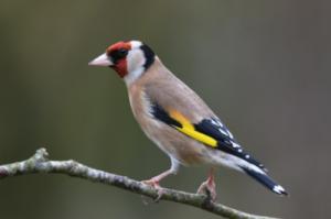 #BigGardenBirdWatch Goldfinch