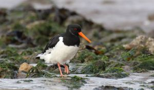 Oyster Catcher at Crow Point